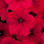 Petunia Surfinia Deep Red Flower Plants