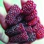 Tayberry Buckingham Fruit Plant