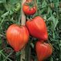 Tomato Coeur de Boeuf (Beefsteak) Grafted Plants