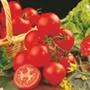 Tomato Shirley F1 AGM (Medium) Grafted Plants