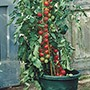 Grafted Tomato Plant