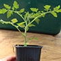 Grafted Potted Plant