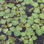 Trapa Natans Floating Pond Plant