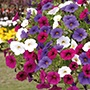 Trixi® Calibrachoa Spirit Plants