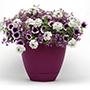 Trixi Treasure Chest Flower Plants