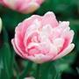 Tulip Angelique Bulbs