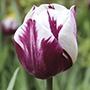 Tulip Rem's Favourite Bulbs