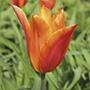 Tulip Ballerina Bulbs