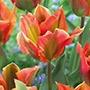 Tulip Artist (Viridiflora) Bulbs