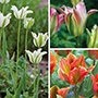 Long Lived Tulip Bulb Collection