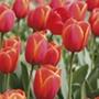 Tulip Ad Rem