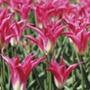 Tulip Madalyn (Lily-Flowered) Bulbs