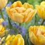 Tulip Foxy Foxtrot Bulbs