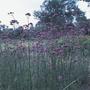 Verbena bonariensis Plants