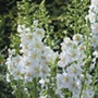 Verbascum Temptress White plants