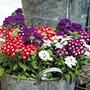 Verbena Quartz Mixed F1 Plants