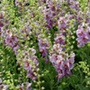 Verbascum Plum Smokey Flower Plants