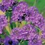 Verbena rigida Plants