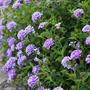 Verbena La France Flower Plant