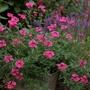 Verbena Sissinghurst Flower Plants