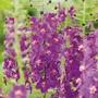Verbascum phoeniceum Flower Plants