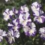 Viola Etain Flower Plants