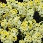 Wallflower Sugar Rush Primrose F1 Plants
