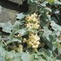 Whitecurrant Blanka Plant