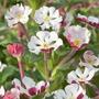 Zaluzianskya ovata Night Phlox Plants