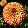 Zinnia Queen Lime Plants