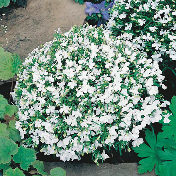 Lobelia White Lady Seeds From Mr Fothergills Seeds And Plants