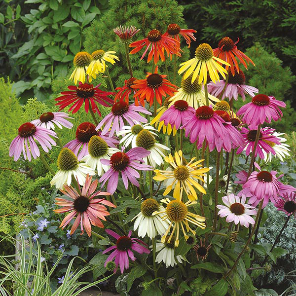 echinacea dreamcoat seeds from mr fothergill 39 s seeds and. Black Bedroom Furniture Sets. Home Design Ideas