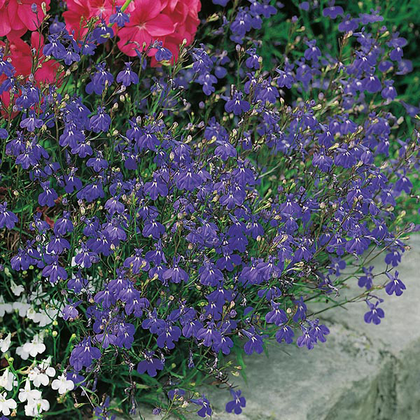 Lobelia Sapphire Trailing Seeds From Mr Fothergills Seeds And Plants
