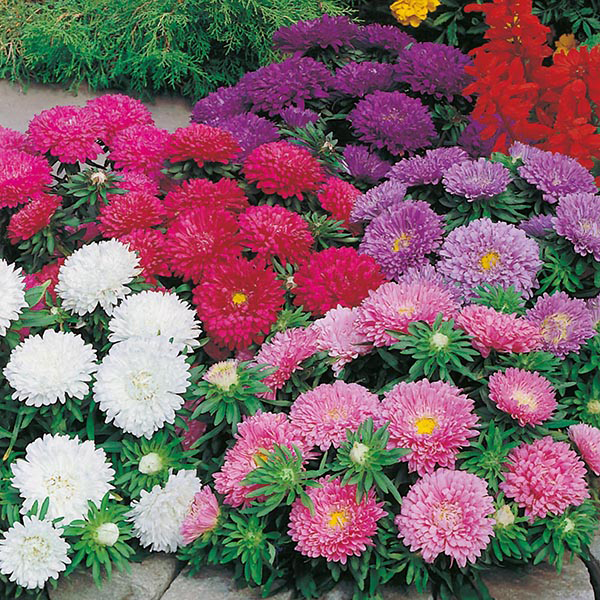 Aster Colour Carpet Mixed Seeds From Mr Fothergill S Seeds