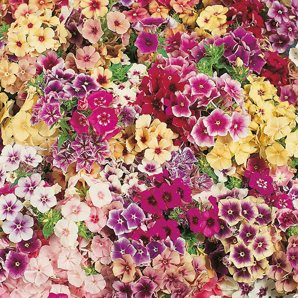 phlox tapestry seeds from mr fothergill 39 s seeds and plants. Black Bedroom Furniture Sets. Home Design Ideas