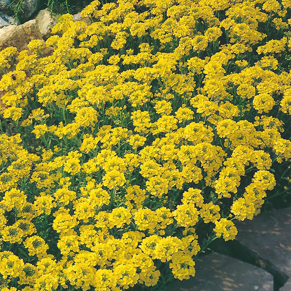 Alyssum Gold Dust Seeds From Mr Fothergill S Seeds And Plants