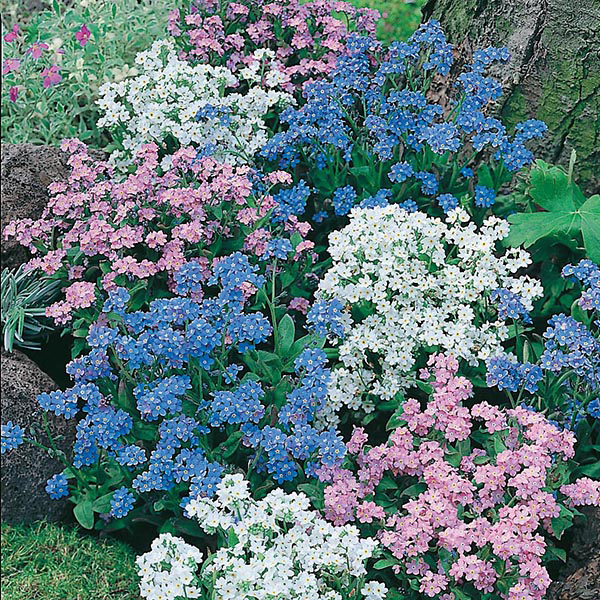 forget me not mixed seeds from mr fothergill 39 s seeds and. Black Bedroom Furniture Sets. Home Design Ideas