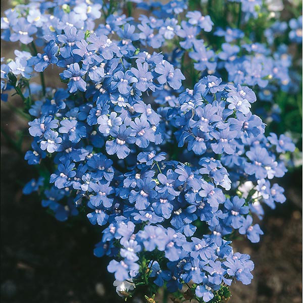 Nemesia Blue Gem Seeds From Mr Fothergill S Seeds And Plants