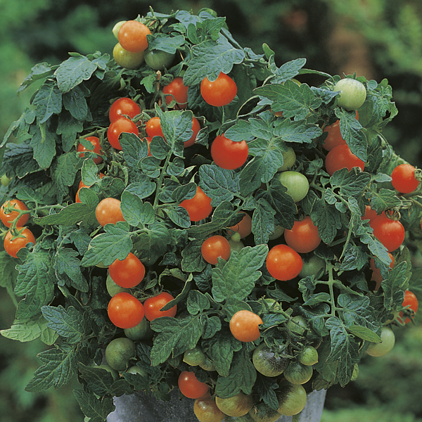Tomato (Cherry) Garden Pearl Seeds From Mr Fothergill's