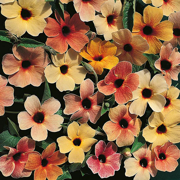Black Eyed Susan Sunset Shades Seeds From Mr Fothergills Seeds And