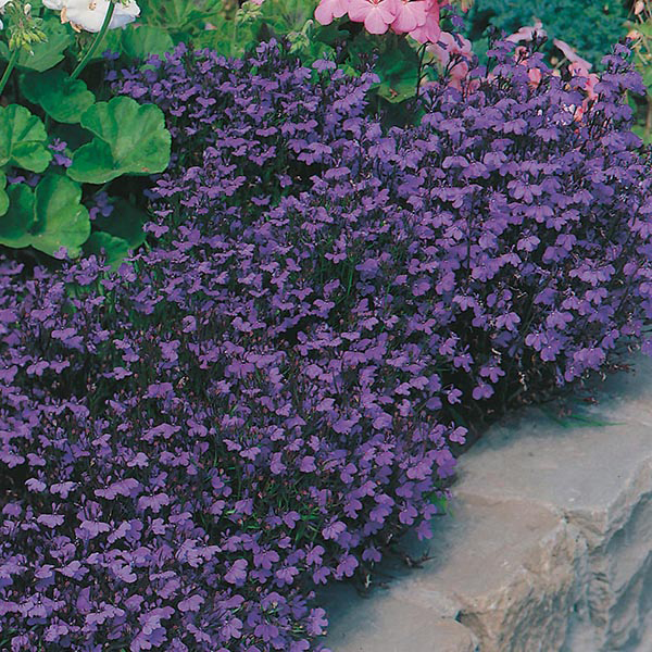 Lobelia Crystal Palace Seeds From Mr Fothergills Seeds And Plants