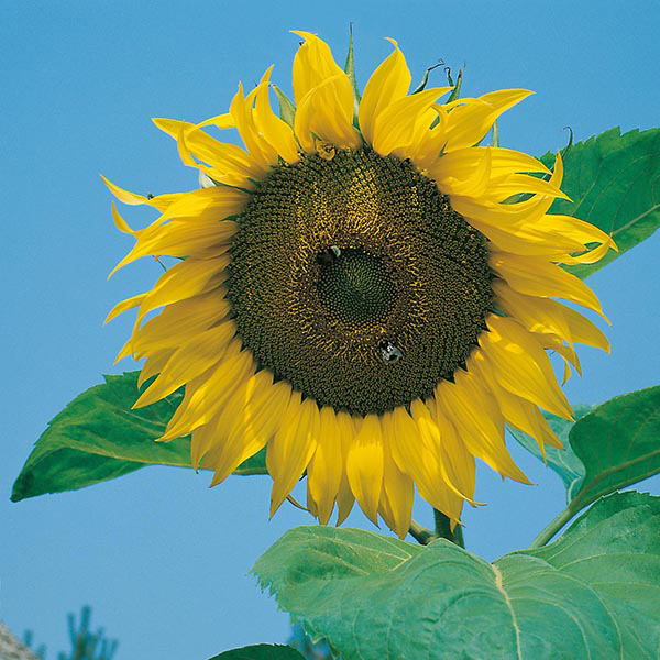 sunflower giant single seeds from mr fothergill's seeds and plants, Beautiful flower
