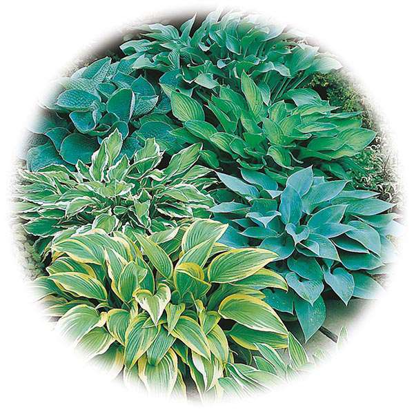 Hosta Mixed Species Colours Seeds From Mr Fothergills Seeds And