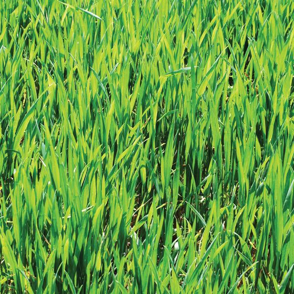 Mr Fothergills Pictorial Packet Green Manure Winter Rye 1000 Seeds