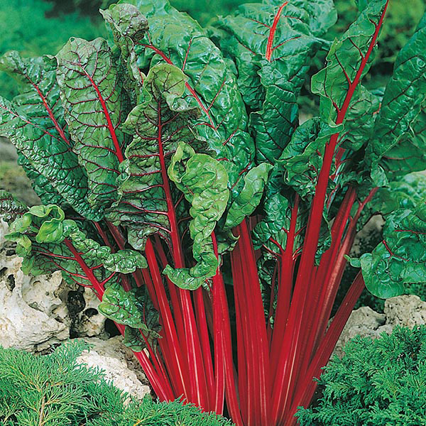 chard rhubarb vulcan seeds from mr fothergill s seeds and plants