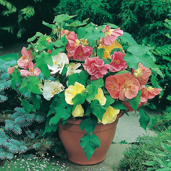 Abutilon Bella Mixed F1 Seeds From Mr Fothergills Seeds And Plants
