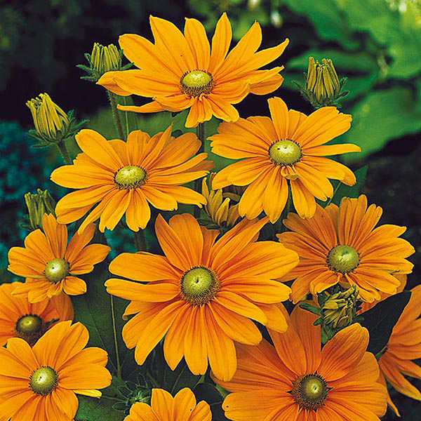 Rudbeckia Irish Spring Seeds From Mr Fothergill S Seeds And Plants