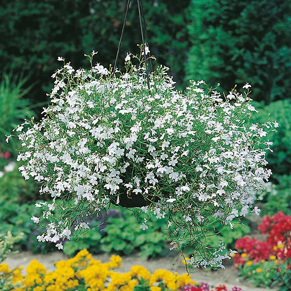 Lobelia White Fountain Seeds From Mr Fothergills Seeds And Plants