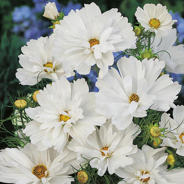 Cosmos Psyche White Seeds From Mr Fothergills Seeds And Plants