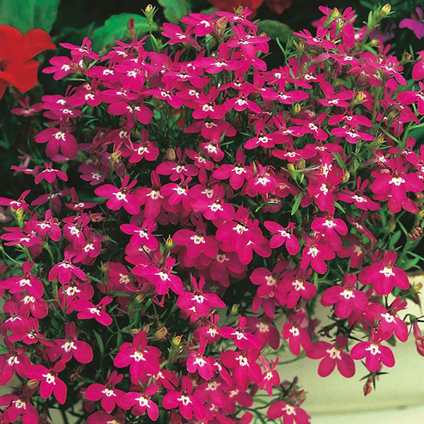 Lobelia Rosamond Seeds From Mr Fothergills Seeds And Plants